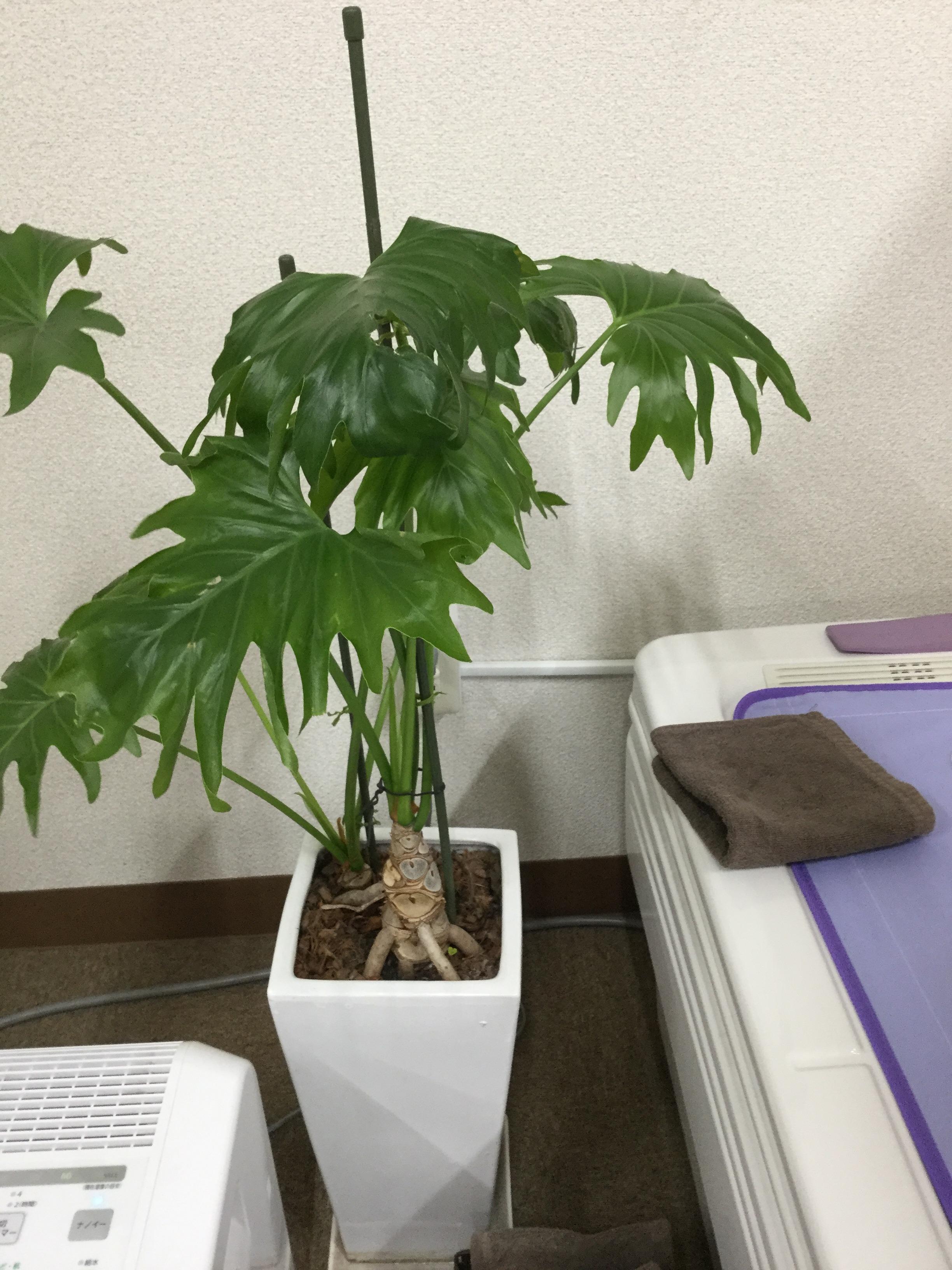 観葉植物のクローバー